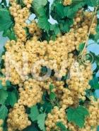 Ribes bianco N0700341