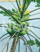 Papaya N0700370