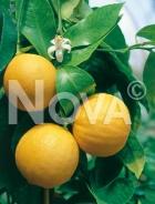 Bergamotto N0700389