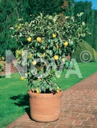 Limone N0700515