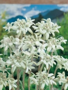 Stella alpina o edelweiss N0902092