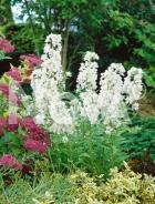 Violaciocca antoniana bianca N0902343