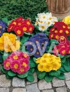 Primula dei giardini mix N0902907