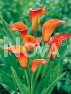Calla arancio N0903092