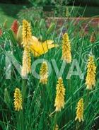 Kniphofia giallo N0903137