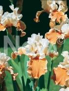 Iris germanica arancio-bianco N0904066