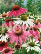Echinacea purpurea mix N0904554