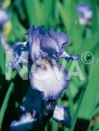 Iris germanica blu-bianco N0904709