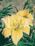 Hemerocallis ibrido giallo N0904720