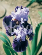 Iris germanica blu-bianco N0904723