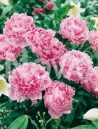 Paeonia rosa N0906208