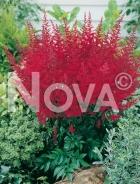Astilbe rossa N0906338
