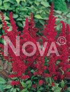 Astilbe rossa N0906521