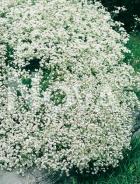 Gissofila paniculata bianca N0906564