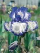 Iris germanica blu-bianco N0907004