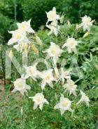 Aquilegia a fiore semplice bianco N0907573