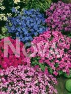 Aubrezia nana mix N0907582