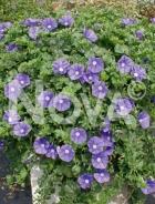 Convolvolo o bella di giorno blu N0908053