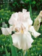 Iris germanica bianco N0908549