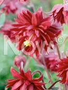 Aquilegia a fiore doppio rosso N0908864