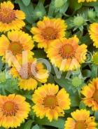 Gaillardia a fiori gialli N0908982