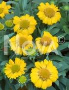 Gaillardia a fiori gialli N0908983