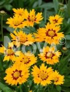 Coreopsis arancio N0909168
