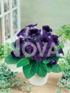 Gloxinia blu N1200470