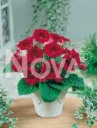 Gloxinia rossa N1200472