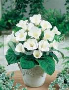 Gloxinia bianca N1200473
