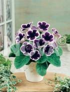 Gloxinia blu-bianca N1200596