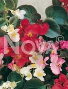Begonia semplice mix N1500051