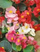 Begonia semplice mix N1500052