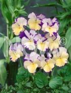 Viola cornuta bicolore N1500097