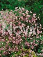 Gissofila elegans rosa N1500326