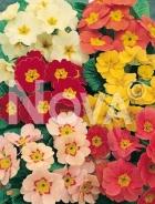 Primula dei giardini mix N1500718