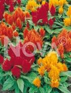 Celosia piumosa mix N1500861