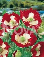 Papavero bicolor N1501467