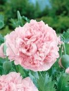 Papavero fior di peonia rosa N1502923