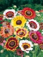 Crisantemo carinato mix N1502945