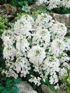 Iberis umbellata bianca N1502961