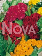 Celosia cresta di gallo mix N1503439