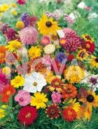 Miscuglio di fiori annuali N1504914