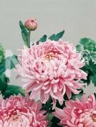 Crisantemo a fiore unico rosa N1505457