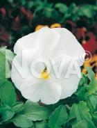 Viola del pensiero gigante svizzera bianca N1505808