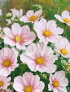 Cosmea rosa N1507040