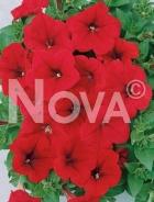Petunia nana compatta rossa N1507349