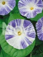 Ipomea grandiflora bicolor N1507361