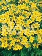Bidens aurea gialla N1507739