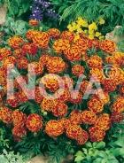 Tagete nano doppio bicolor N1507902